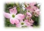 花みずき画像1