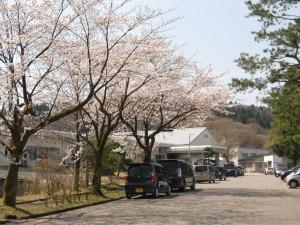 いからしの里の桜1
