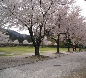 いからしの里の桜2