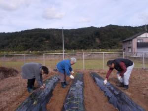 GH畑「玉ねぎの苗を植えて居ます」